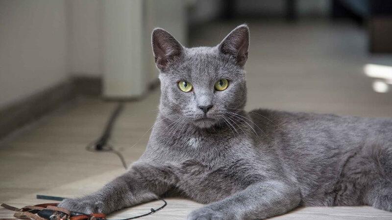 російська блакитна порода кішок