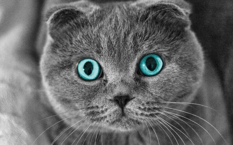 скоттиш фолд с голубыми глазами