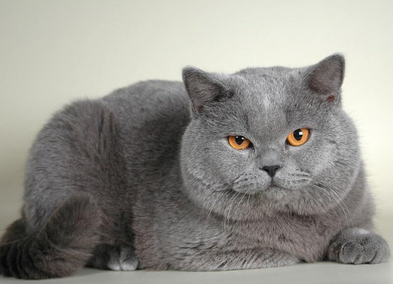 кот британский короткошерстный фото