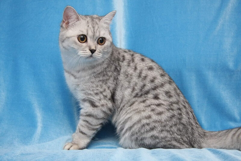 британські короткошерсті кішки таббі