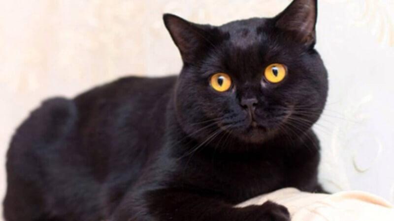 чорний британець кіт