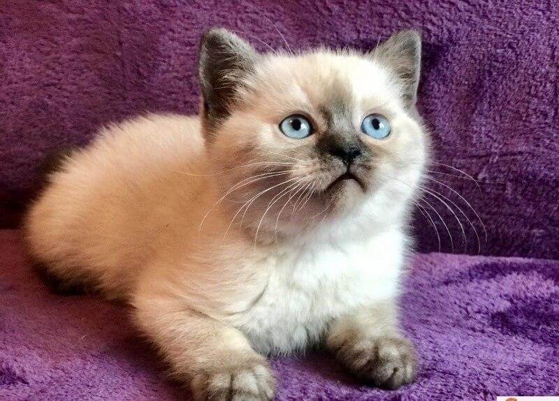 колор поінт британске кошеня короткошерсте