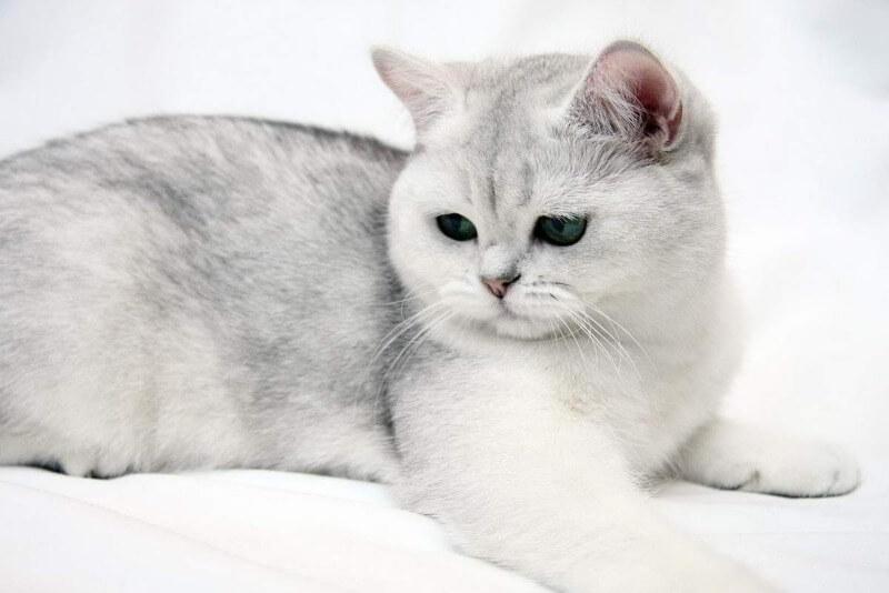 походження британських короткошерстих котів