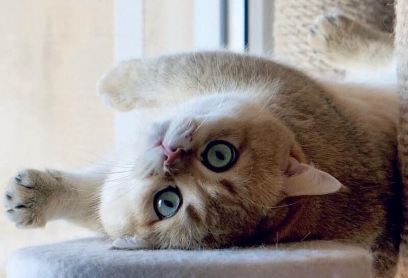шиншила британська короткошерста кішка