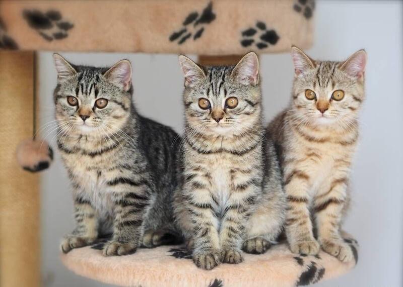 британські короткошерсті кошенята таббі