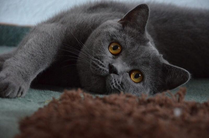 зовнішні ознаки британської короткошерстої кішки