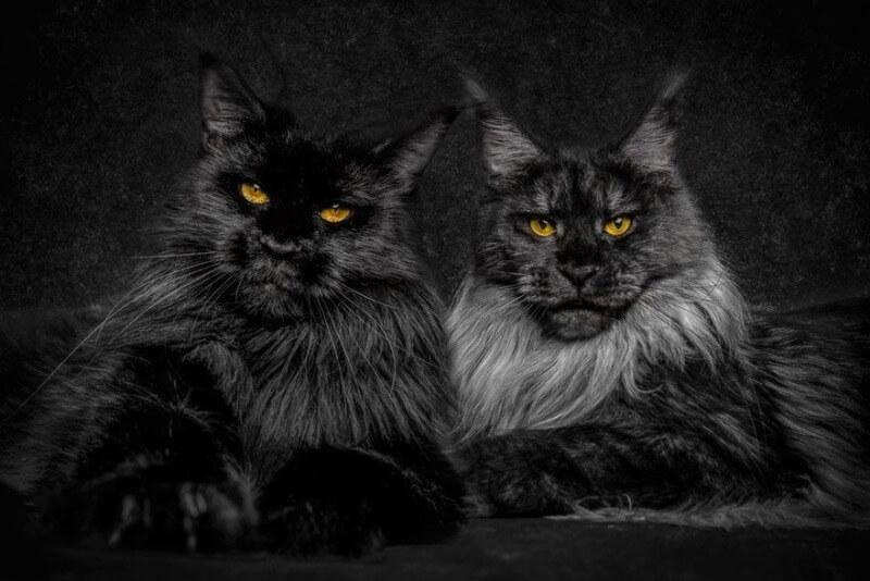 мейн-куны черного окраса