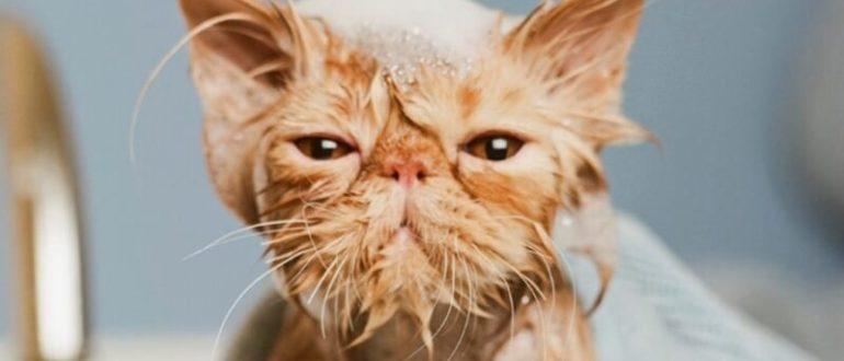 як помити кота