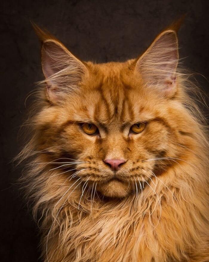 кот мейн кун рыжий