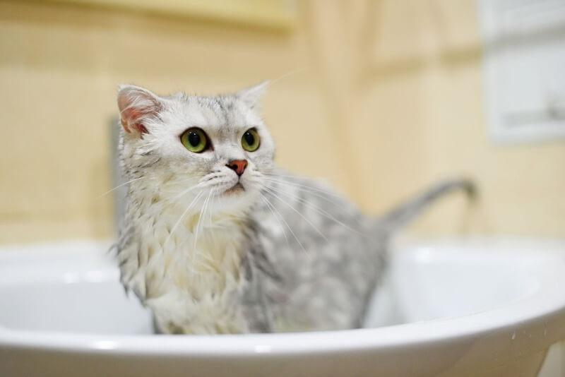 підготовка до купання кішки