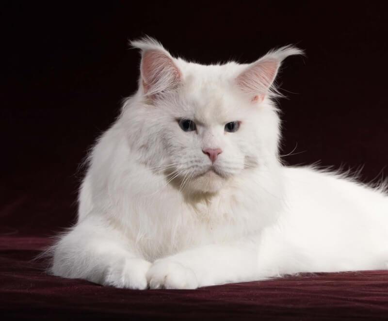 белый кот мейн-кун