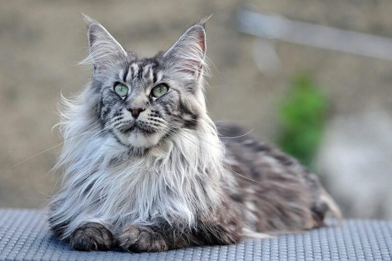 кот мейн-кун серый
