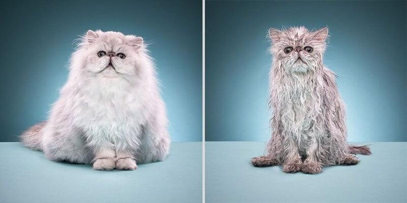 пухнастий мокрий кіт після купання
