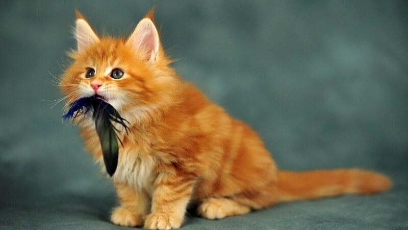 рыжий котенок мейн кун