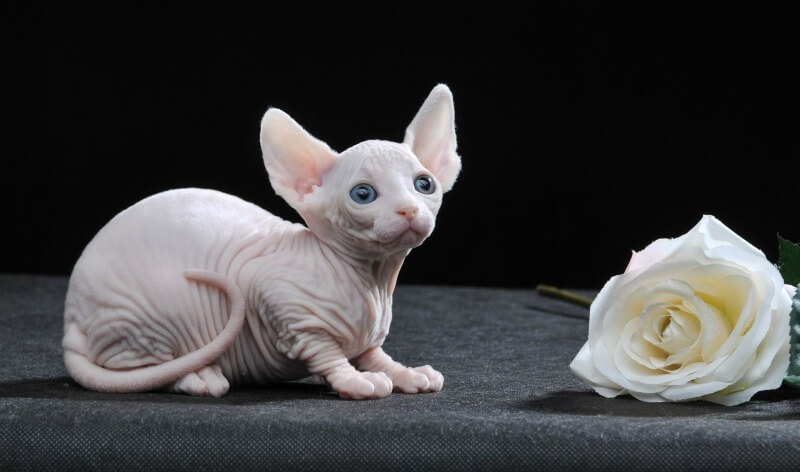 порода кішок бамбіно