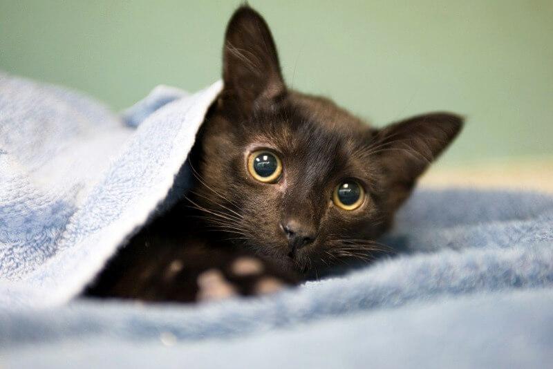 як заспокоїти кішку під час тічки