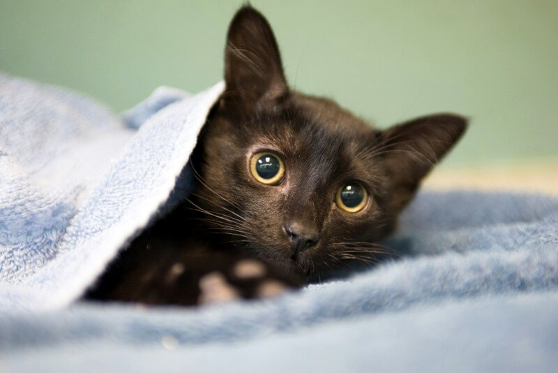 как успокоить кошку во время течки