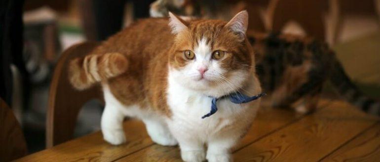 Манчкин кот