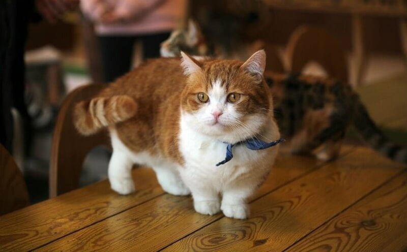 кошки с короткими лапками
