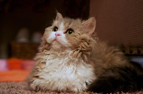кот породы Лэмкин