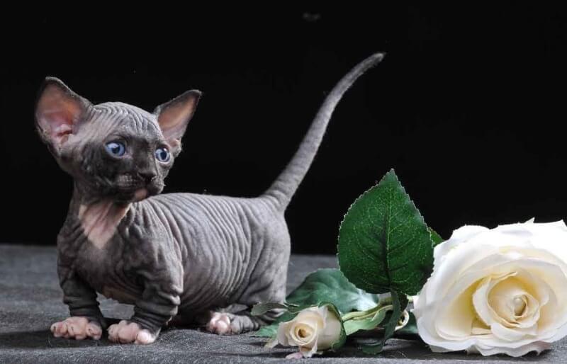 кошеня Бамбіно