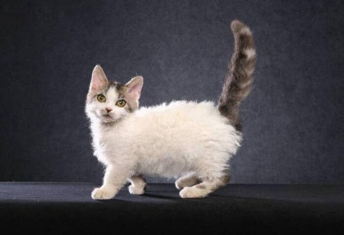 Лэмкин кошки с короткими ногами