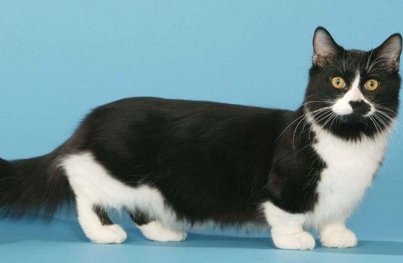 Манчкин кот с короткими лапками