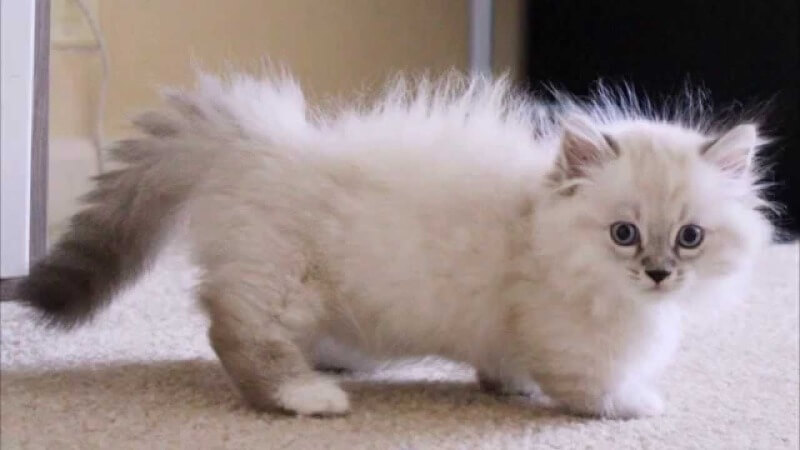 наполеон котенок с короткими лапками