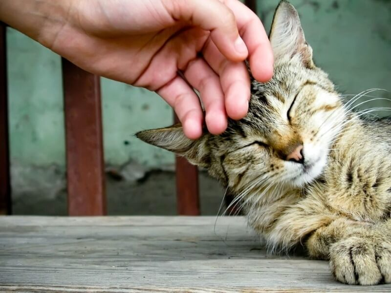 перші ознаки тічки у кішок
