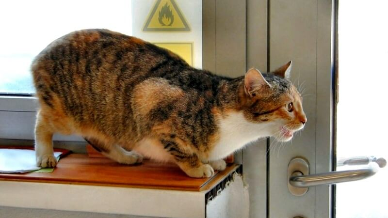 тічка у кішки симптоми