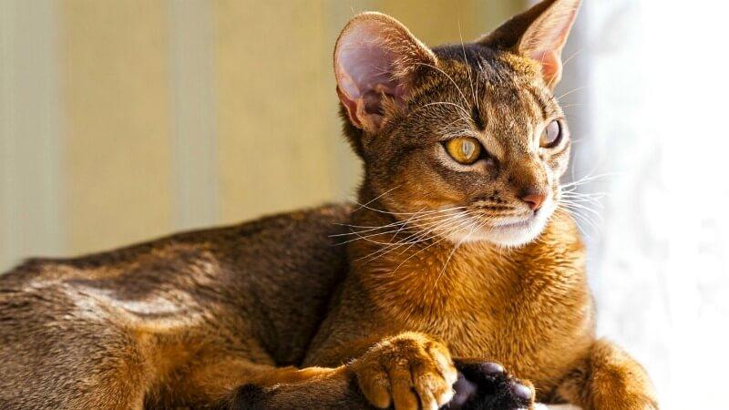Абіссинський кіт