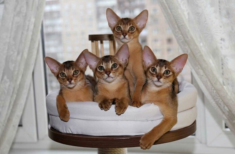 абіссинські кошенята
