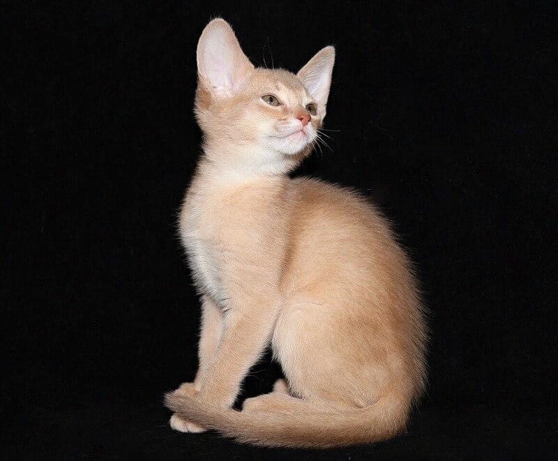 абиссінске кошеня фавн