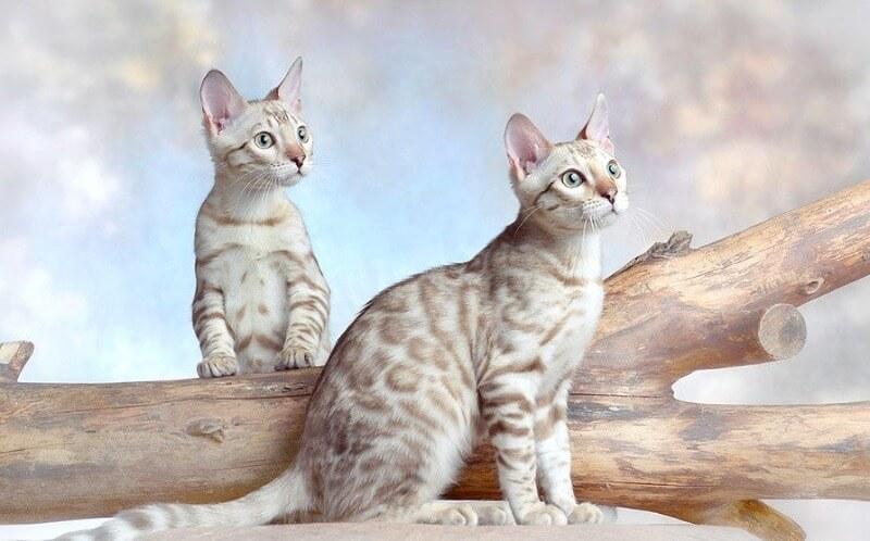 белая бенгальская кошка