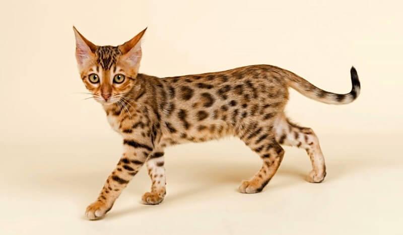 бенгальский котенок леопардовый окрас