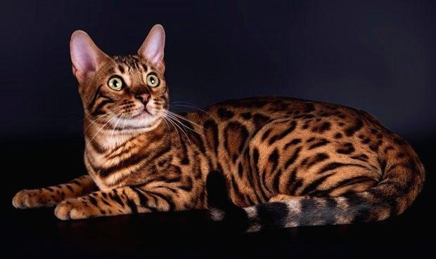 бенгал леопардовий окрас
