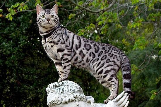 бенгальский кот серебряного окраса