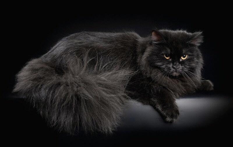 чорна сибірська кішка