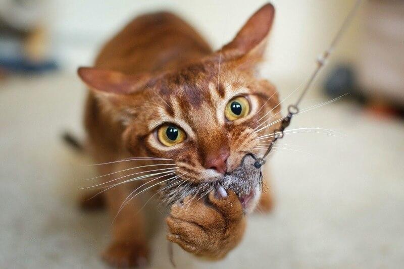 характер абиссинских кошек