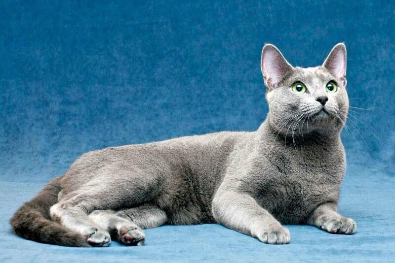 характер російської блакитної кішки