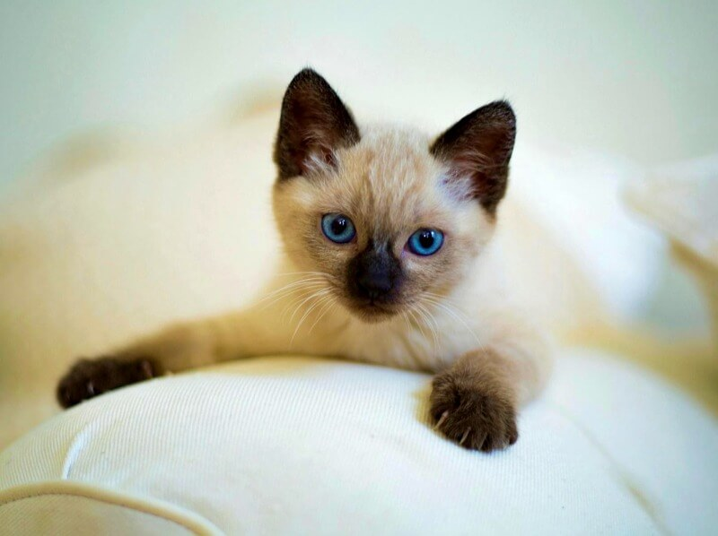 характер сіамських кошенят