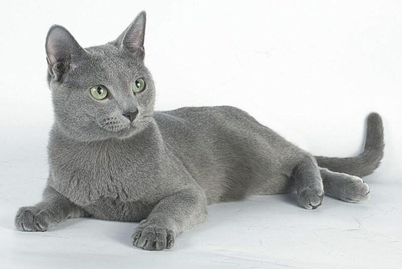 кішка російська блакитна