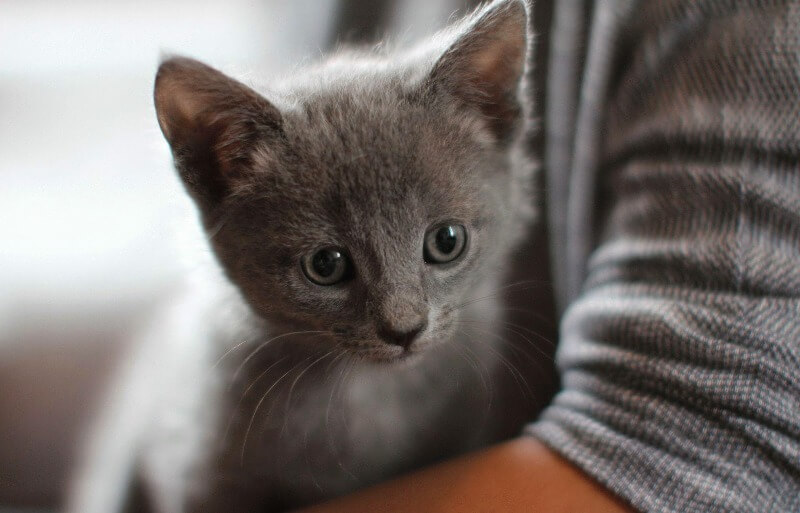 російський блакитний кошеня