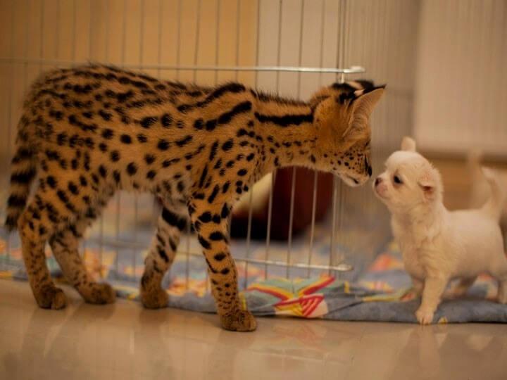 котенок сервал и собака