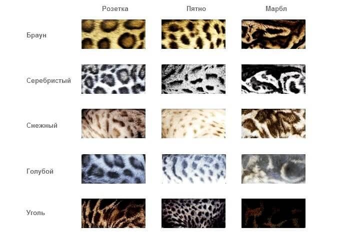 варіанти забарвлення бенгальских котів