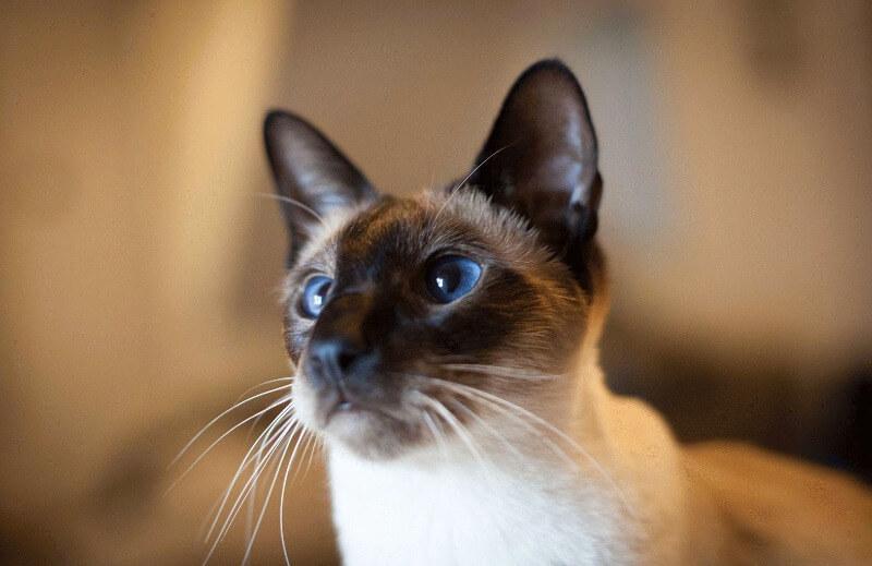 раціон харчування сіамських котів