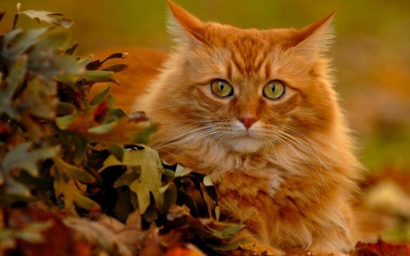 кот сибирский рыжий окрас