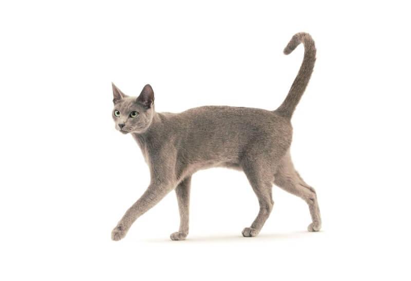 русская голубая кошка строение тела