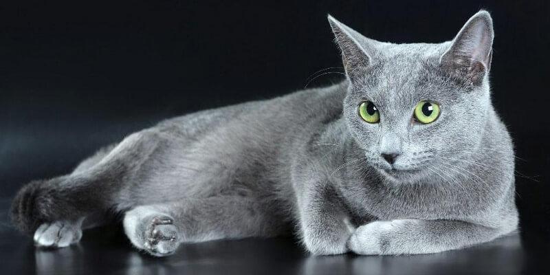 Русская голубая кошка - фото, цена, описание породы, характер, уход, содержание