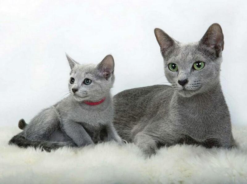 русские голубые коты
